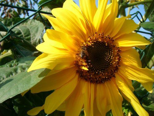 bičių, bitės, saulėgrąžos, gėlė, apdulkinimas, žiedadulkės, augalas, šviesa, geltona, bitės saulėgrąžose