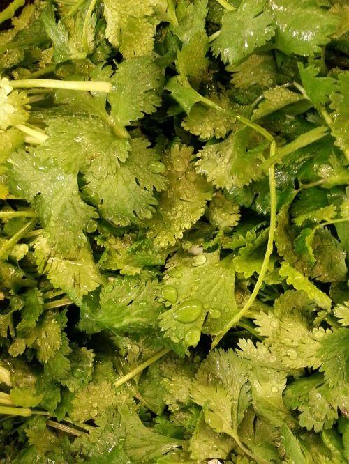 veg cilantro plant