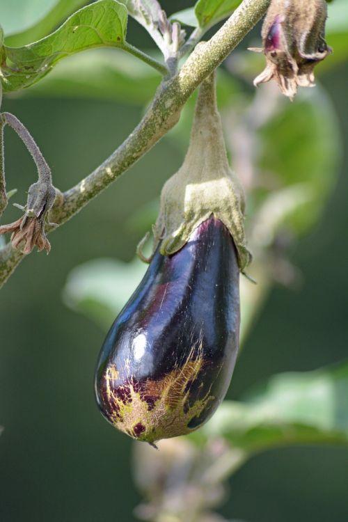 vegetable eggplant vegetable garden