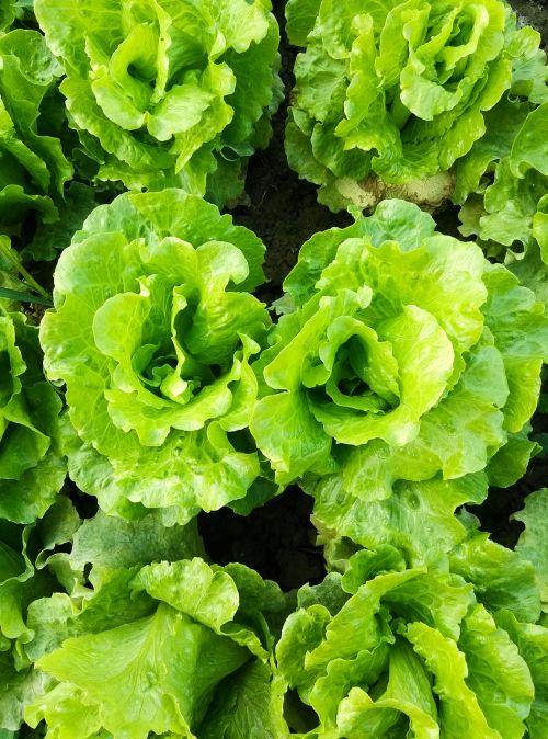 vegetable organic in rural areas