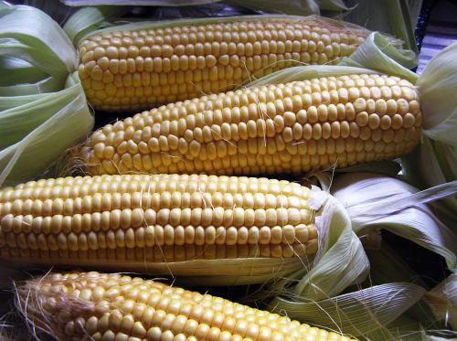 vegetable corn harvest