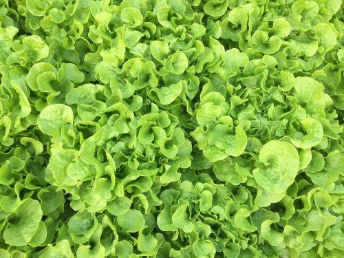 vegetable lettuce organic