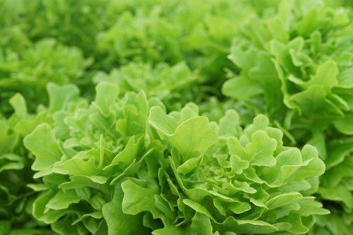 vegetable cultivation  farming  modern farming