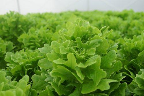 vegetable cultivation  lettuce looseleaf  farming