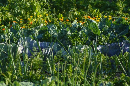 vegetables  vegetable patch  food