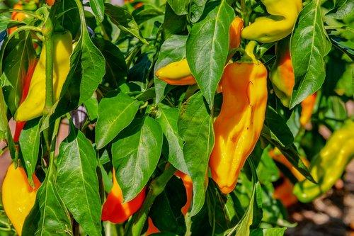 vegetables  paprika  capsicum