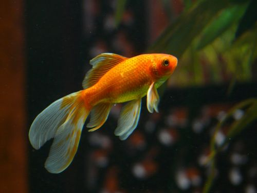 veiltail fish goldfish