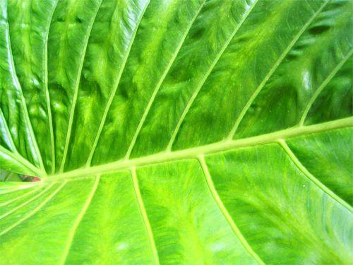 Veined Leaf Close
