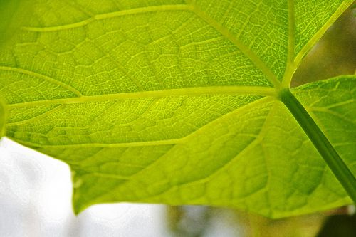 Veined Leaf With Stem