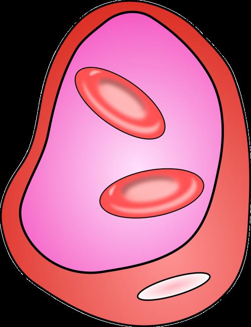 veins blood vessel cells
