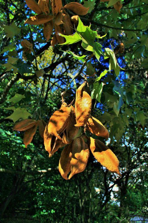 Velvet Brown Seed Pods