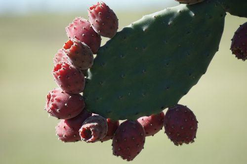velvety tree pear opuntia tomentosa cactus