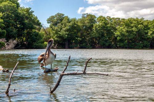 venezuela mangroves pelican