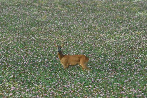 venison roebuck lawn