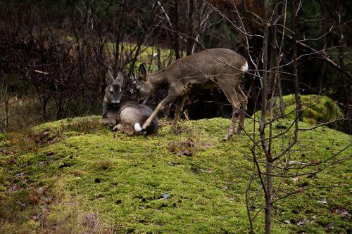 venison nature wildlife