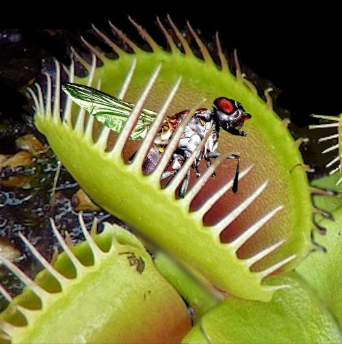 venus flytrap trapped fly