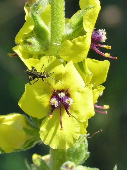 verbascum boerhavii,laukinė gėlė,žalias vabalas,išsamiai,grožis