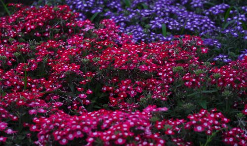 verbena flowers verbenaceae