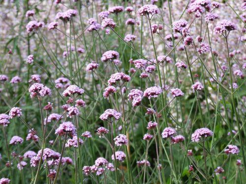 verbena flower nature
