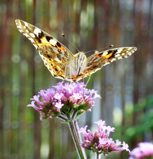 verbena flower butterfly