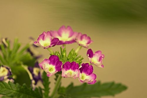 verbena ornamental flower verbena greenhouse