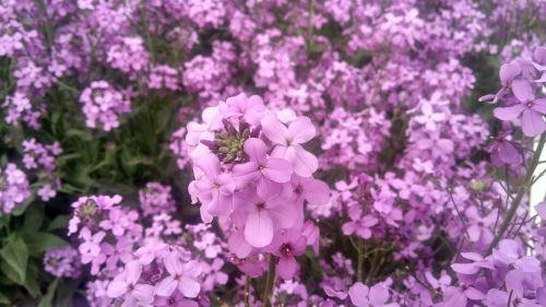 verbena natural plant