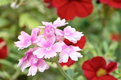 verbena verbena greenhouse pink