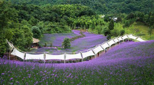 verbena purple sichuan huaxi valley