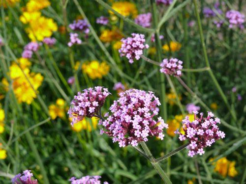 verbena flower mauve