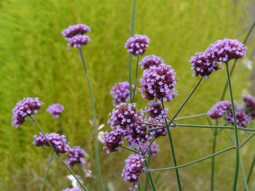 verbena plant blossom