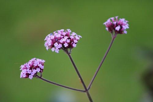 verbena bonariensis  verbena  plant