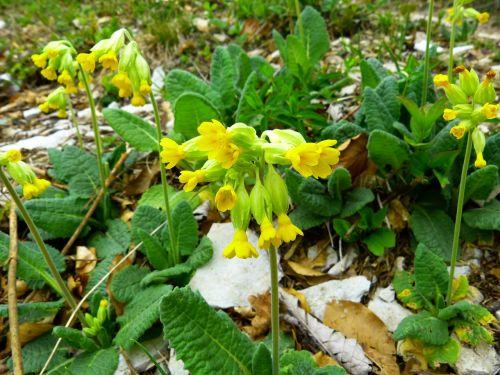 veris flower yellow