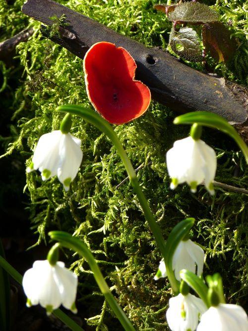vermilion kelchbecherling mushroom snowflake