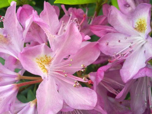 vernal pink flower rhododendron
