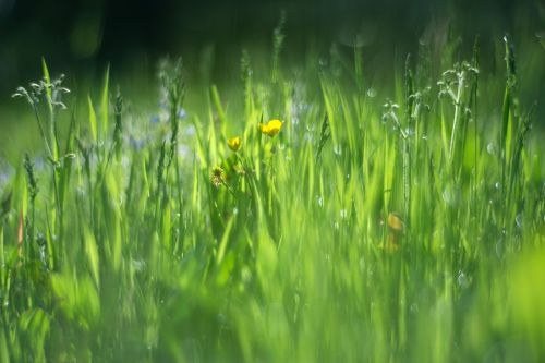 vernal grass green