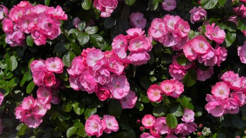 verny park rose pink