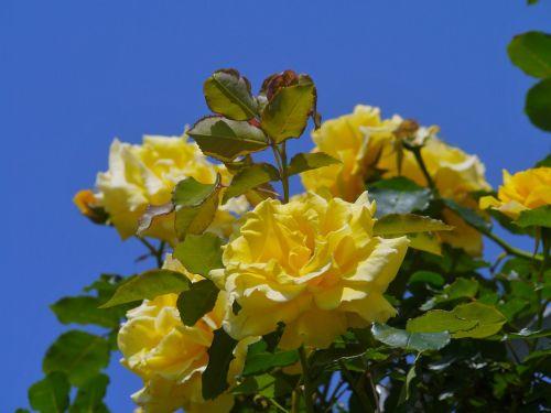 verny park rose huang