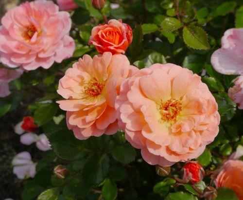 verny park rose orange