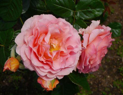 verny park rose large flower