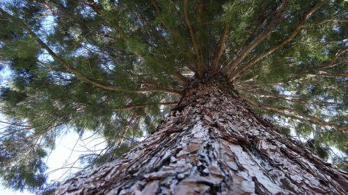vertical perspective pine tree looking upward