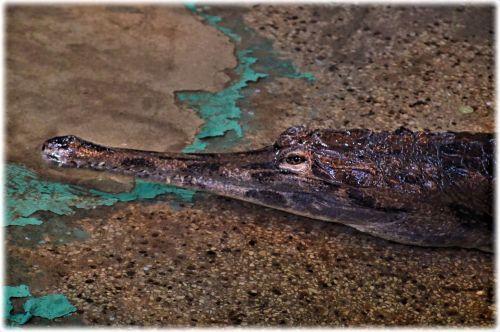 Very Emotional Crocodile