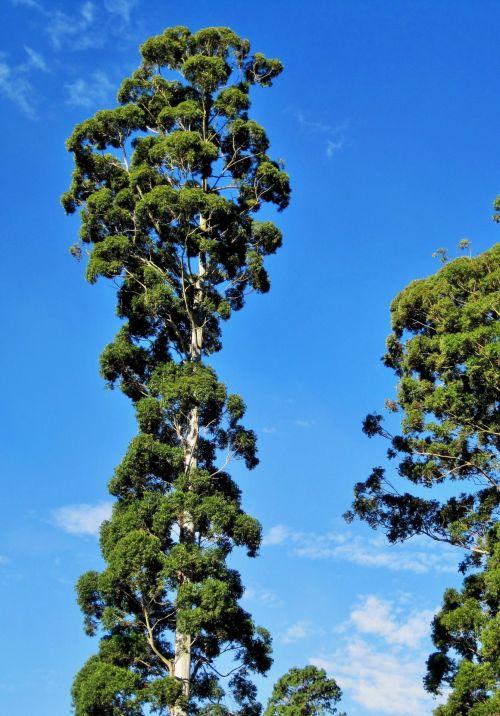medžiai, aukštas, eukaliptas, bluegum, labai aukštas eukaliptas