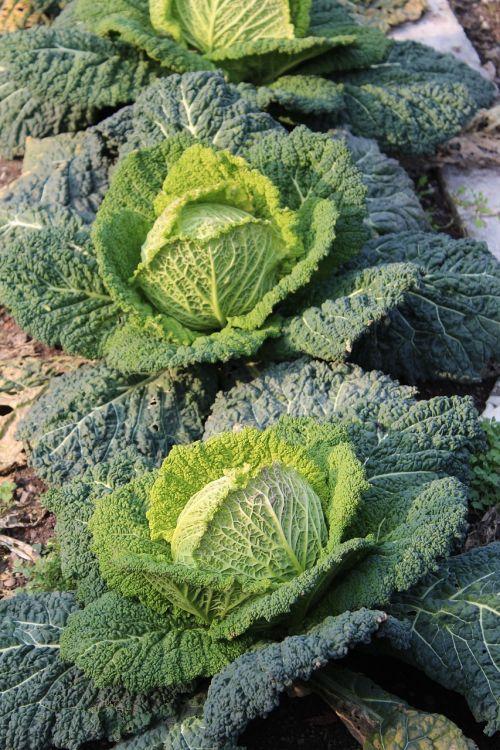 verze vegetables garden