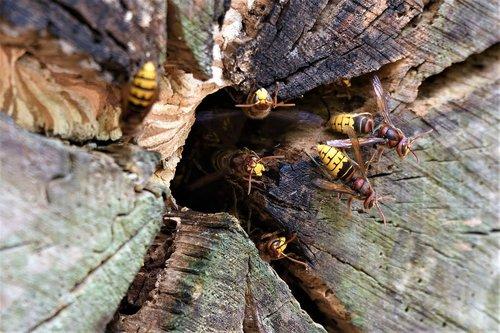 vespa crabro  hornet  wasp