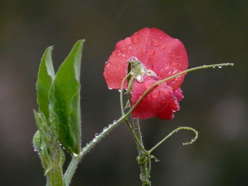 vetch vicia fabaceae