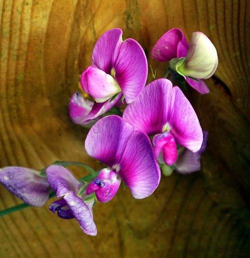 vetch  blossom  bloom