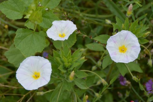 vetch white flowers