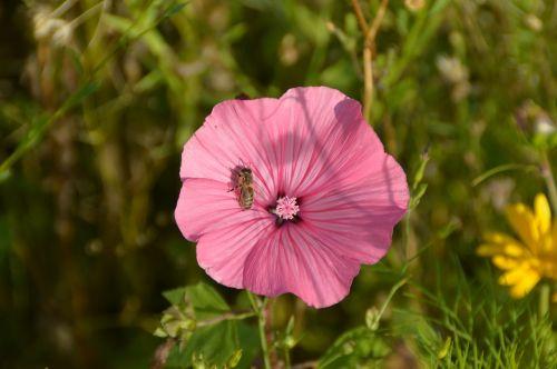 vetch pink flower