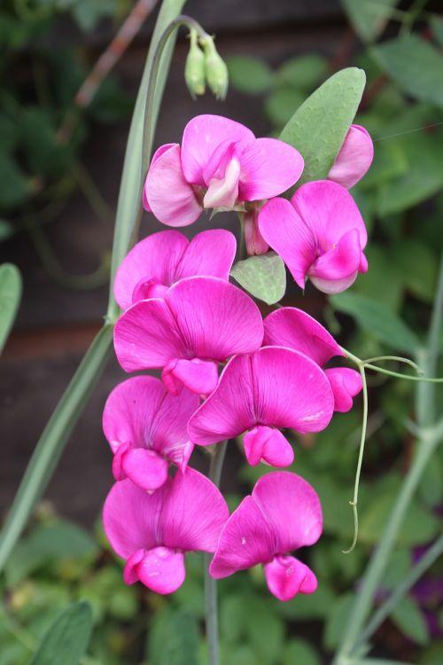 vetches wild pink