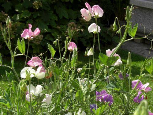 vetches vetch flower